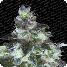 Original White Widow (IBL) Feminised Seeds