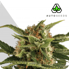 Pounder Auto Feminised Seeds