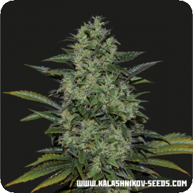 Power Russian Feminised Seeds