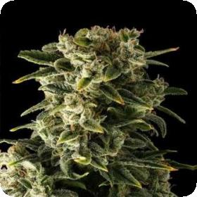 Automatic Haze Feminised Seeds