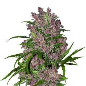 Auto Purple Bud Feminised Seeds
