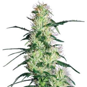 Purple Haze Feminised Seeds