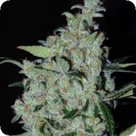 Purple Mexican Feminised Seeds