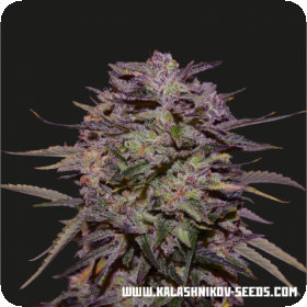 Purple Russian Express Feminised Seeds