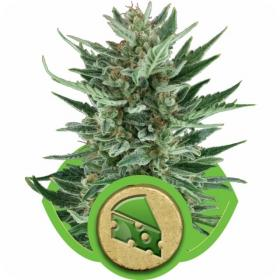 Royal Cheese Automatic Feminised Seeds