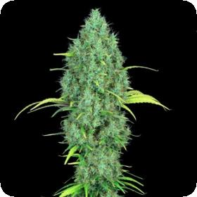 Serious 6 Feminised Seeds