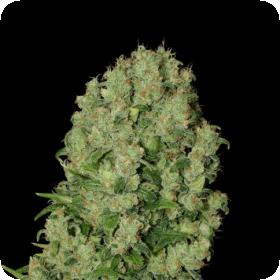 White Russian Feminised Seeds (SERIOUS)
