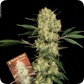 AK47 Regular Seeds