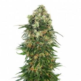 Shiva Skunk AUTO Feminised Seeds