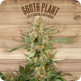 South Plant Feminised Seeds