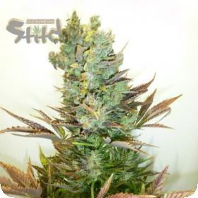 Stitch's Love Potion Autoflowering Regular Seeds