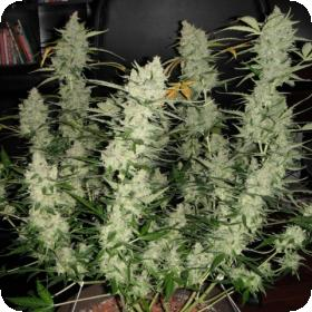 Super kush Auto Feminized Cannabis Seeds