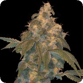 Super Lemon OG Regular Seeds - Limited Collection
