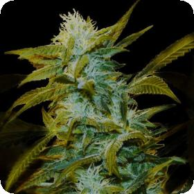 Super Silver Bilbo Feminised Seeds