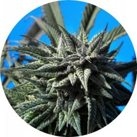 Tao Blueberry AUTO Regular Seeds