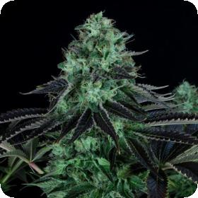 Dark Star Regular Seeds