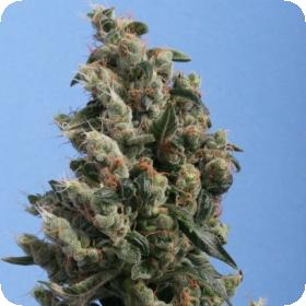 Kushage Regular Seeds