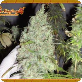 The Incredible Bulk Feminised Seeds