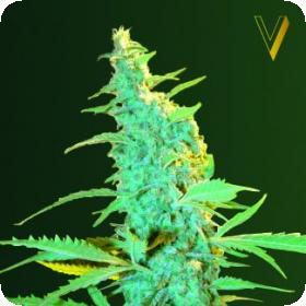 Ultra Power Plant Feminised Seeds