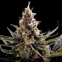 24 K  Gold  Feminised  Cannabis  Seeds