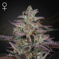 Banana  Krumble  Feminised  Cannabis  Seeds