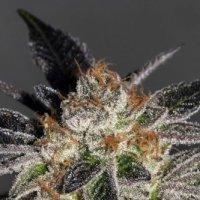 Cookies  Feminised  Cannabis  Seeds