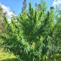 Malana  Outdoors  Tropic  Crop